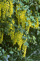 Laburnum Laburnum anagyroides (Fabaceae) HEIGHT to 7m<br /> Deciduous tree with narrow, sparse crown and slender bole. BARK Smooth, greenish-brown, marked with blemishes. BRANCHES Often slightly pendulous; shoots grey-green with long, silky, clinging hairs. LEAVES Alternate, divided into three, each leaflet to 8cm long, elliptic and blunt-pointed at tip, on a 2–6cm-long petiole; hairy below when young. REPRODUCTIVE PARTS Yellow, fragrant pea-like flowers appear copiously in 10–30cm-long pendulous racemes in early summer. Pods, to 6cm long, have smooth blackish-brown, dry outer skin. Persist on tree, twisting open to reveal pale inner skin and dark seeds. STATUS AND DISTRIBUTION Native of S and central Europe, planted here for ornament; sometimes naturalised