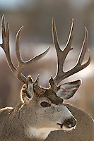 Mule Deer Buck, close up, Jackson Hole, Wyoming
