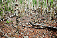 Aspen trees or Salicaceae Populus near the Maroon Bells in Aspen, Colorado, July 12, 2011...Photo by Matt Nager