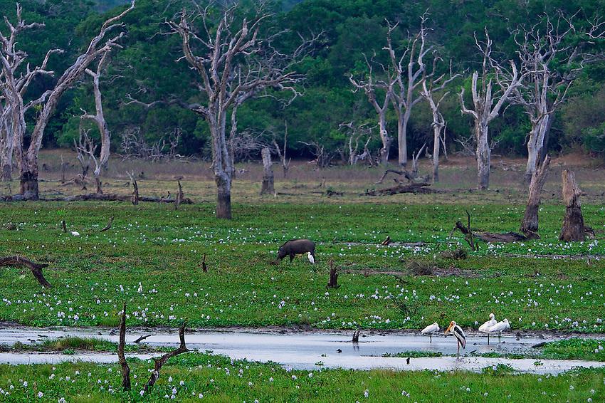 Swamp land in Yala National Park, Wildlife, Sri Lanka
