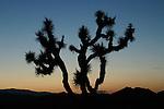 Joshua tree at twilight, Joshua Tree National Park, California