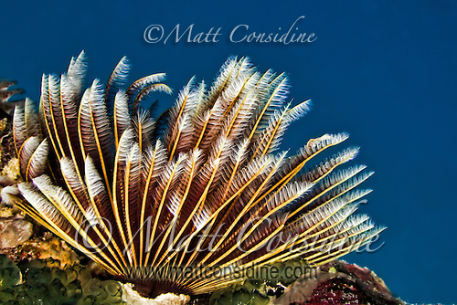 Golden Sea Fan Crinoid, Yap Micronesia (Photo by Matt Considine - Images of Asia Collection) (Matt Considine)
