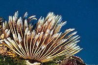 Golden Sea Fan Crinoid, Yap Micronesia (Photo by Matt Considine - Images of Asia Collection)