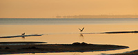 Seagulls silhouetted on Jurmala beach at sunrise with Daugavgriva Lighthouse, Latvia as a distant mirage.