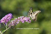 03023-02813 Eastern Tiger Swallowtail Butterfly (Papilio glaucus) on Butterfly Bush (Buddleia davidii), Marion Co., IL