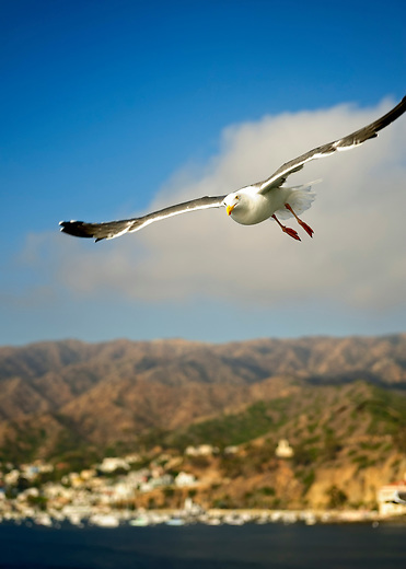 Seagull flying above the Pacific ocean off the coast of Catalina, California