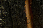 Coast Redwood (Sequoia sempervirens) tree with burned bark, Santa Cruz Mountains, California