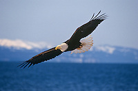 Bald eagle (Haliaeetus leucocephalus), Pacific Northwest, winter.
