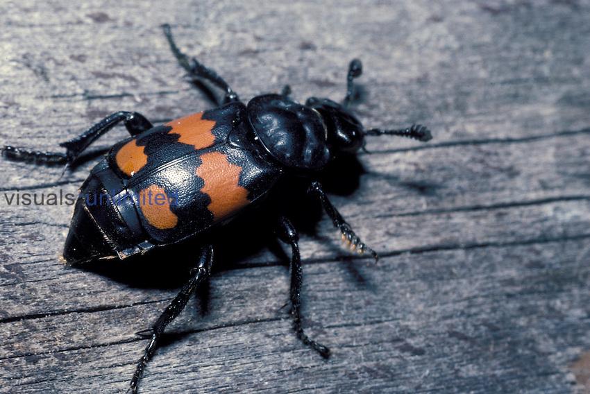 Carrion Beetle. ,Nicrophorus marginatus,