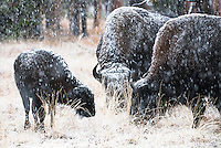 Bison weather a snowstorm in Hayden Valley on Yellowstone National Park.
