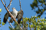 Ding Darling National Wildlife Refuge, Sanibel Island, Florida; an Osprey perched on a high branch of a mangrove tree spreads its wings to fly, in early morning sunlight