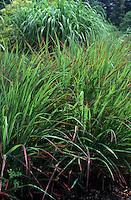 Ornamental grass Panicum virgatum Hanse Herms