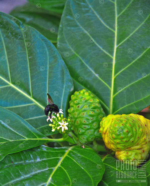 Native medicinal plant noni with black bee