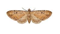 70.165 (1845)<br /> Pimpinel Pug - Eupithecia pimpinellata