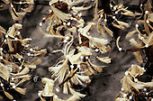Rio de Janeiro, Brazil. Samba school; rows of men whirling with hats made of straw and pom-poms; Carnival.