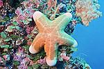 OPHIDIASTERIDAE/Choriaster granulatus/Granulated sea star/Palau