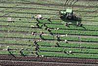 Ernte:EUROPA, DEUTSCHLAND, SCHLESWIG- HOLSTEIN 06.10.2008:  Europa, Deutschland, Schleswig, Holstein, Arbeit,  Ernte, Erntehelfer, Osteuropaeische, Polnische, Trecker, Feld, Landwirtschaft, Gemuese, Luftbild, Luftbild, Luftaufnahme, Felder, Aecker, Anbau, Ernte, anbauen, ernten, Arbeiter, arbeiten, Bauer, Bauern, Bio,  Acker, Traktor, Reihe,  # acre, aerial photo, aerial photograph, array, arrays, blue-collar worker, building extension, crop,  europe, farmer, farmers, farming, field, fields, germany, grower, harvest, harvest aid, harvests, husbandry, jobber, jobbers, laborer, labourer, labourers, open country, pad, pads, pawn, peasant, peasants, picking, polish one, rural economoy, to cultivate, to grow, toiler, tractor, vegetable, vegetables, worker, workers, working man, workman, workmen, works.Luftaufnahme, Luftbild,  Luftansicht.c o p y r i g h t : A U F W I N D - L U F T B I L D E R . de.G e r t r u d - B a e u m e r - S t i e g 1 0 2, .2 1 0 3 5 H a m b u r g , G e r m a n y.P h o n e + 4 9 (0) 1 7 1 - 6 8 6 6 0 6 9 .E m a i l H w e i 1 @ a o l . c o m.w w w . a u f w i n d - l u f t b i l d e r . d e.K o n t o : P o s t b a n k H a m b u r g .B l z : 2 0 0 1 0 0 2 0 .K o n t o : 5 8 3 6 5 7 2 0 9.V e r o e f f e n t l i c h u n g  n u r  m i t  H o n o r a r  n a c h M F M, N a m e n s n e n n u n g  u n d B e l e g e x e m p l a r !.