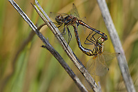 362690003 a pair of wild mating black meadowhawks sympetrum danae perch on a wild grass stem at de chambeau ponds in southern mono county california united states