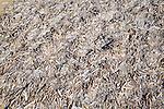 Huge mass of pod razorshells Ensis siliqua on the beach at Holkham, north Norfolk coast, England