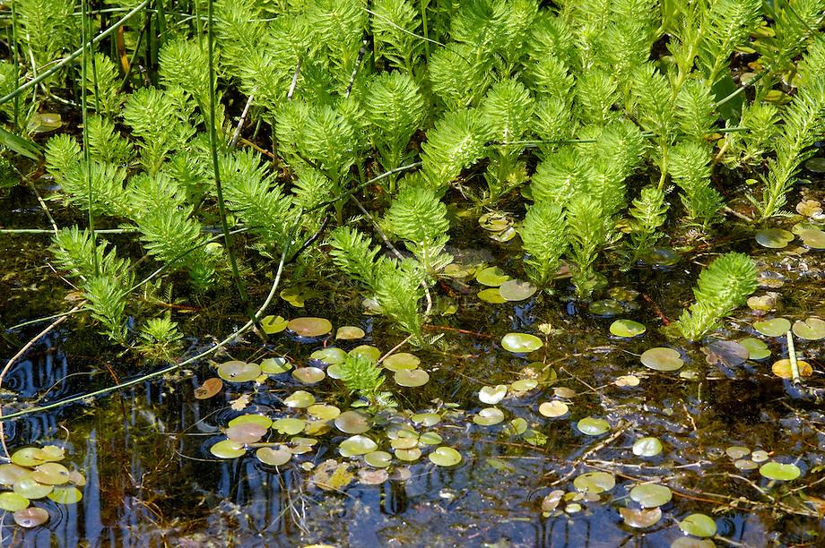 Parelvederkruid (Myriophyllum aquaticum)