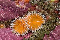 Tangrose, Sagartia elegans, Sagartia elegans var. venusta, Actinia elegans, elegant anemone, sagartie de vase, Seeanemone, Seeanemonen, anemone, Blumentier, Blumentiere, Anthozoa, anemones, sea anemones, sea anemone