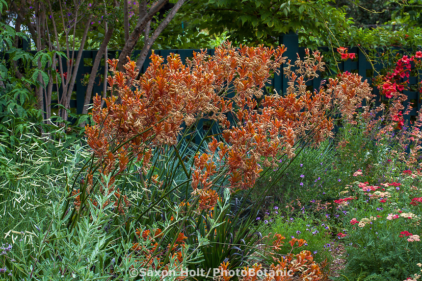 Anigozanthos 'Orange Cross' Gamble Garden, Palo Alto, California
