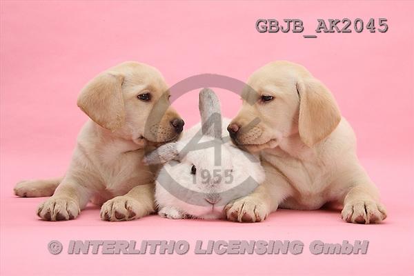 Kim, ANIMALS, fondless, photos(GBJBAK2045,#A#) Hunde, perros