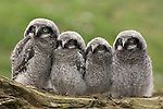 Northern Hawk Owl, Surnia ulula ulula, chicks, native to Scandinavia and Eurasia, captive, World Owl Trust, Cumbria, UK