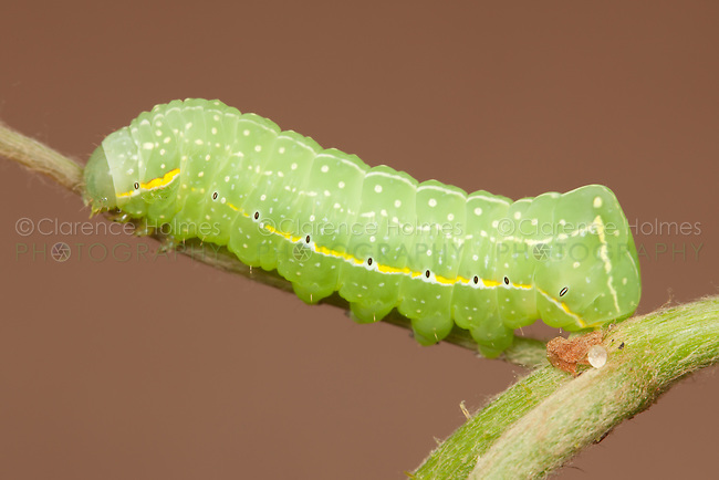A Copper Underwing Moth (Amphipyra pyramidoides) caterpillar (larva) on a wild grape plant, West Harrison, Westchester County, New York.  This subject was photographed in a studio set-up.