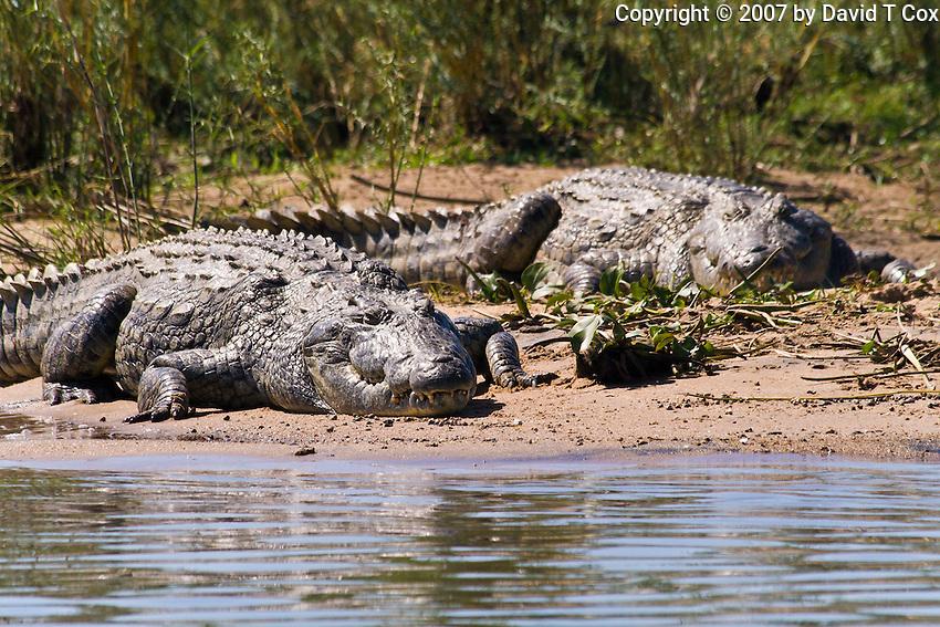 Nile Crocodiles, Shire River, Liwonde NP, Malawi