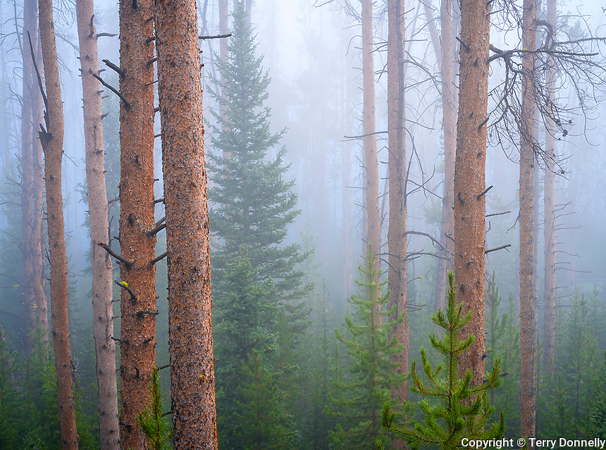 Bridger-Teton National Forest, Wyoming:<br /> Clearing morning fog in a piine forest