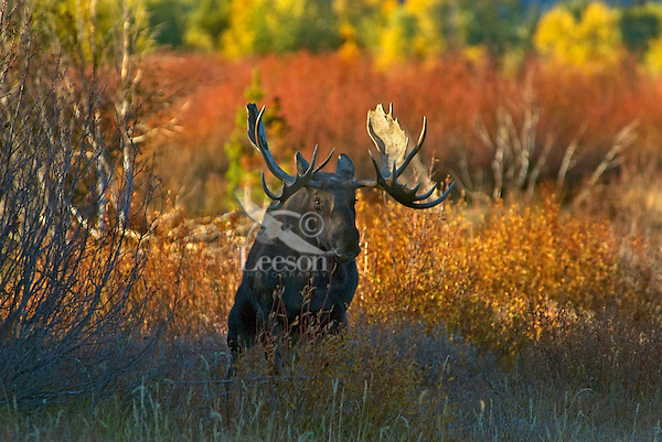 Bull Moose (Alces alces) creating a wallow (urinating in a scrape it has made) during fall rut, Western U.S.