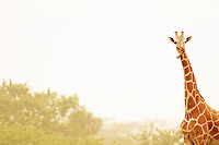 Giraffe, Busch Gardens