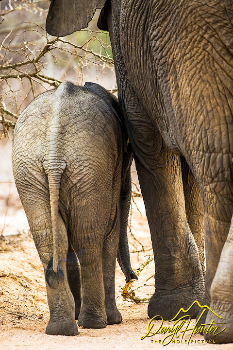 Mother and baby elephant walking through the bush in Kruger National park in South Africa