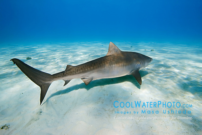Tiger Shark, Galeocerdo cuvier, West End, Grand Bahama, Atlantic Ocean