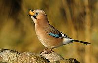Eichelhäher mit einer Eichel, Quercus im Schnabel, Eichel-Häher, Häher, Garrulus glandarius, jay, yaybird with acorn in the bill
