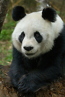 Smiling Panda #21 sits content with her paws forward