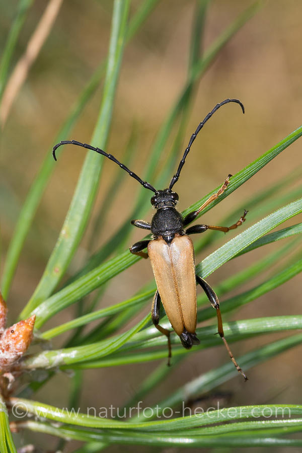 Rothalsbock, Rot-Halsbock, Roter Halsbock, Gemeiner Bockkäfer, Männchen, Corymbia rubra, Stictoleptura rubra, Leptura rubra, Aredolpona rubra, Red-brown Longhorn Beetle, Red Longhorn Beetle, Red Longhorn-beetle, male, le lepture rouge