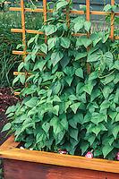 String beans on trellis in organic wooden raised bed vegetable garden