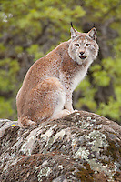 Siberian Lynx sitting on a lichen covered rock - CA