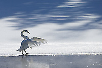 A trumpeter swan hangs out along the Yellowstone River.