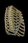 A posterolateral view (right side) of the thoracic cage. Royalty Free