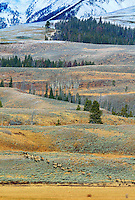 A HERD OF ELK HEAD TO THE HIGH COUNTRY OF YELLOWSTONE NATIONAL PARK,WYOMING