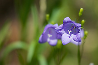 Scotch Bluebell