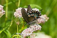 03029-01310 Spicebush Swallowtail butterfly (Papilio troilus) on Swamp Milkweed (Asclepias incarnata) Marion Co., IL
