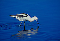 506853155 a wild american avocet recurvirostra americana forages in a shallow lagoon along the pacific coast in san diego county california
