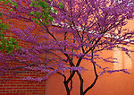 Red Bud Tree<br /> Old Town Arvada, Colorado