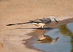 Scissor-tailed Flycatcher at waterhole