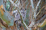 USA, California, Point Reyes National Seashore, great horned owl (Bubo virginianus)