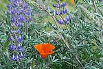California poppy and lupine